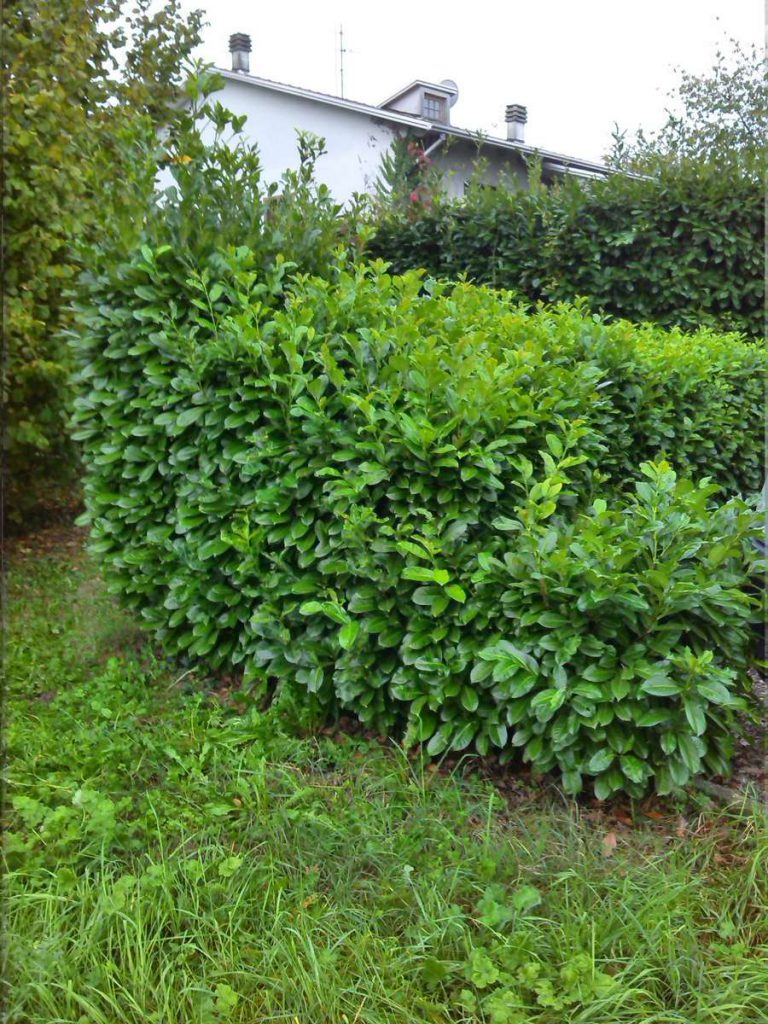 potatura-siepi-alberi-12-768x1024