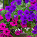 In balcone o in terrazzo: la Petunia